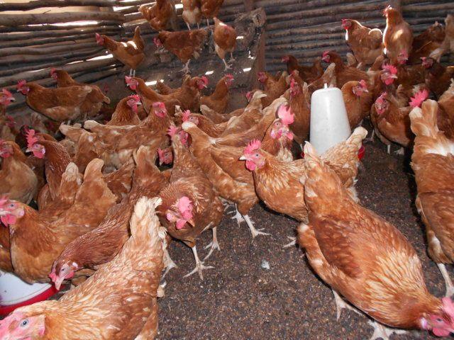 Costruzione pollaio